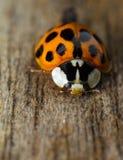 Lieveheersbeestje op hout Royalty-vrije Stock Foto