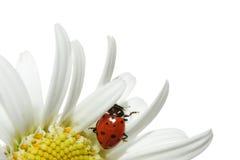 Lieveheersbeestje op madeliefje Stock Foto