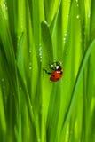 Lieveheersbeestje op nat fonkelend gras Stock Afbeelding