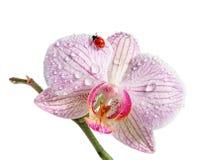 Lieveheersbeestje op orchidee. royalty-vrije stock foto