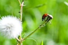 Lieveheersbeestje op Paardebloemstam Stock Afbeeldingen