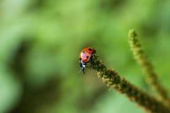 Lieveheersbeestje op stam Stock Afbeeldingen