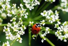 Lieveheersbeestje op witte bloem Royalty-vrije Stock Foto