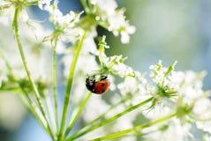 Lieveheersbeestje op witte bloem royalty-vrije stock fotografie