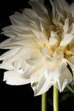 Lieveheersbeestje op witte bloem Royalty-vrije Stock Afbeeldingen
