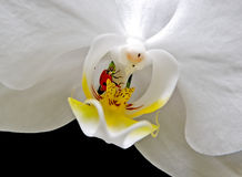 Lieveheersbeestje op witte orchidee Royalty-vrije Stock Foto's