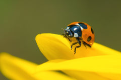 Lieveheersbeestje op Zonnebloem Stock Foto's