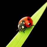 Lieveheersbeestje op zwarte wordt geïsoleerd die Royalty-vrije Stock Afbeelding