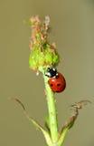 Lieveheersbeestje-vijand van de bladluis Stock Afbeelding
