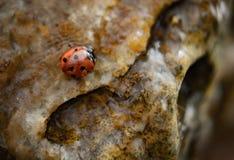 Lieveheersbeestje in water op rotsen stock afbeelding