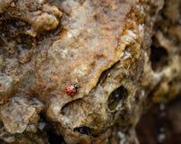 Lieveheersbeestje in water op rotsen royalty-vrije stock fotografie