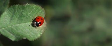 Lieveheersbeestjeclose-up Natuurlijke achtergrond voor Webbanners stock foto
