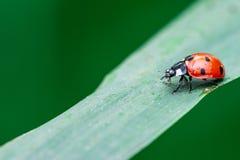 Lieveheersbeestjegang neer vanaf een bovenkant van het blad, Coccinellidae, Geleedpotigen, Schildvleugelige, Cucujiformia, Polyph stock fotografie