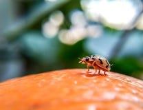 Lieveheersbeestjekever stock afbeelding