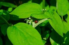 Lieveheersbeestjekruipen op helder groen blad, een groene achtergrond stock fotografie