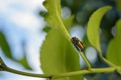 Lieveheersbeestjelarve Stock Afbeeldingen