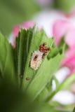 Lieveheersbeestjelarven en eieren van shell Stock Foto's