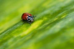 Lieveheersbeestjemacro op groen blad Royalty-vrije Stock Foto's