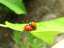lieveheersbeestjes Stock Afbeeldingen