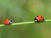 Lieveheersbeestjes Royalty-vrije Stock Foto's