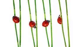 Lieveheersbeestjes Stock Fotografie