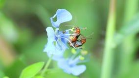Lieveheersbeestjes die op dayflower koppelen stock footage