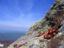 Lieveheersbeestjes die op hoge klippen samenkomen stock afbeeldingen