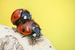 Lieveheersbeestjes die op tak op achtergrond koppelen Royalty-vrije Stock Foto