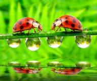 Lieveheersbeestjes die over waterspiegel samenkomen. stock afbeelding