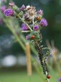 Lieveheersbeestjes en aphids Royalty-vrije Stock Afbeeldingen