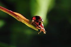 Lieveheersbeestjes het koppelen royalty-vrije stock fotografie