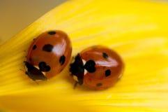 Lieveheersbeestjes op geel blad Royalty-vrije Stock Fotografie