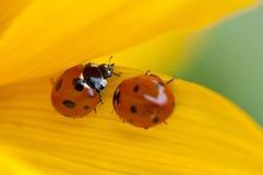Lieveheersbeestjes op geel blad Royalty-vrije Stock Foto