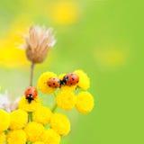 Lieveheersbeestjes in weide Stock Fotografie