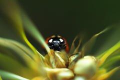 Lieveheersbeestjezitting op een oor in de oogst royalty-vrije stock afbeelding