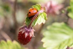 Lieveheersbeestjezitting op een stuk van aardbei Stock Foto's