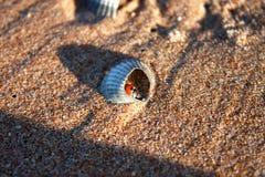Lieveheersbeestjezitting in shell Royalty-vrije Stock Foto's