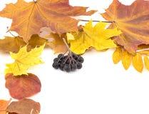 Liez les baies noires sur des feuilles d'automne sur un fond blanc Images stock