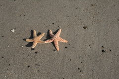 This Is The Life. Two starfish laying side by side on a tropical beach Royalty Free Stock Image