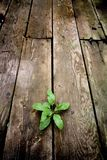 Life. Young green plant emerging through the cracks of an old wooden floor from an abandoned warehouse. focus on plant Stock Photo