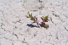 Life Against All Odds. Small plant emerging in dry mud desert. Symbol for life against all odds Royalty Free Stock Photography