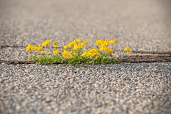 Life on asphalt - power of nature (little yellow flower). Nature always finds a way to survive, poor living conditions - power of life is genuine and strong Royalty Free Stock Images