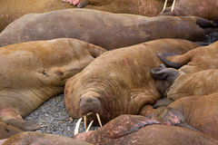Life Atlantic walruses at haul out sites is at most of sleep and small conflicts with neighbors. Ned for such dense abundance of sleeping individuals is not royalty free stock photo