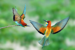 The life of bee-eater (Merops apiaster). European bee-eater (Merops apiaster) fighting Stock Images