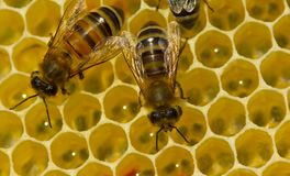 Bees build honeycombs. Here you can see work of a bee to create Stock Photos