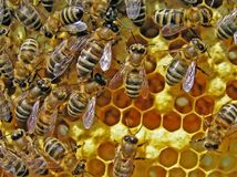 Life of bees. Reproduction of bees. Royalty Free Stock Images