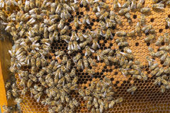 Life of bees. Worker bees. The bees bring honey. Royalty Free Stock Photography