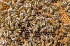Life of bees. Worker bees. The bees bring honey. Stock Image