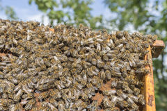 Life of bees. Worker bees. The bees bring honey. Royalty Free Stock Images