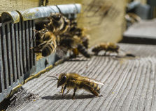 Life of bees. Worker bees. The bees bring honey. Day stock image